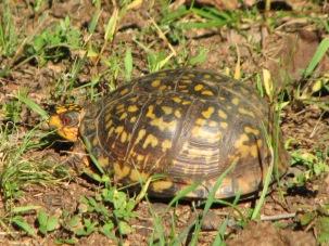 Box Turtle 002
