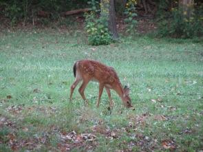 Deer in backyard 9-19-10 001