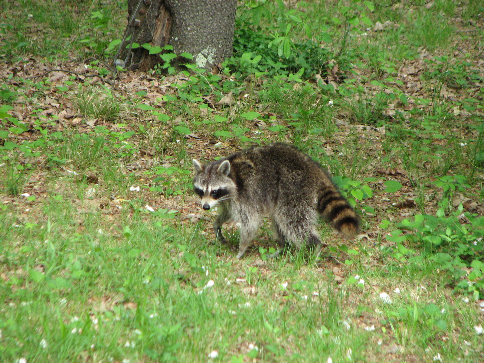 A raccoon in our yard April 28, 2014.
